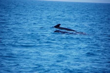 pilot whale (14)