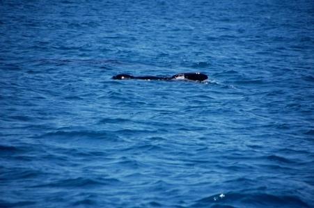 pilot whale (15)