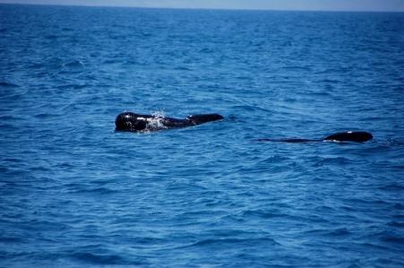 pilot whale (16)